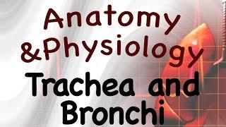 Respiratory System: Trachea and Bronchi (16:04)