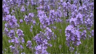 Wanneer lavendel snoeien: Wanneer lavendel snoeien? Kijk hier wanneer je lavendel moet snoeien