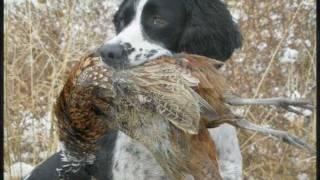 Field Bred English Springer Spaniels - Springer Spaniel Gun Dogs