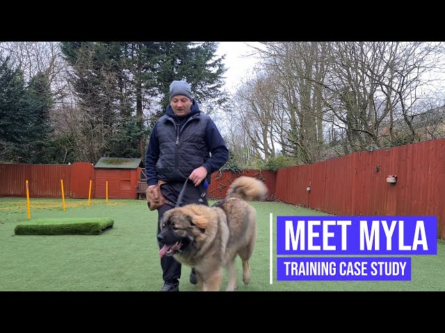 Helping a Caucasian Shepherd with reactivity issues