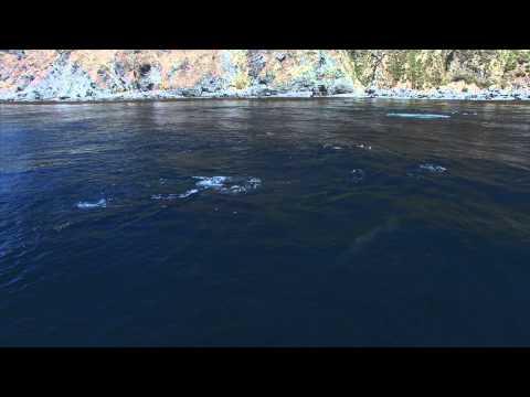 Humpback Whales feeding on a huge bait ball Big Sur california