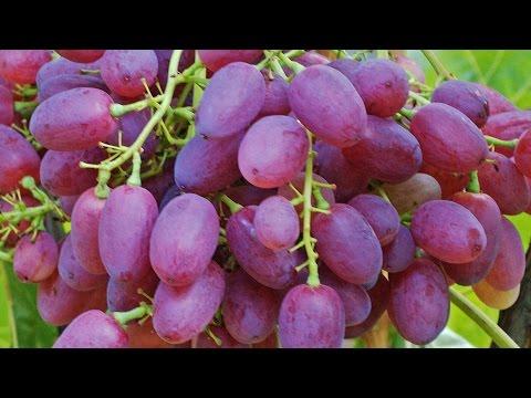 Виноград ВЕЛЕС – один из лучших безсемянніх сортов