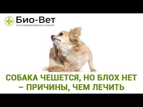 Собака чешется, но блох нет – причины, чем лечить