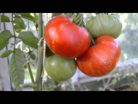 Сибирские сорта томатов Дачный Форум
