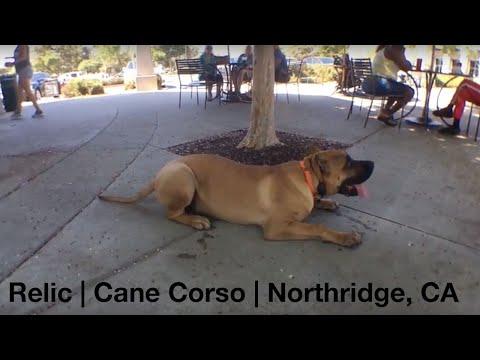 Relic | Cane Corso | Northridge, CA