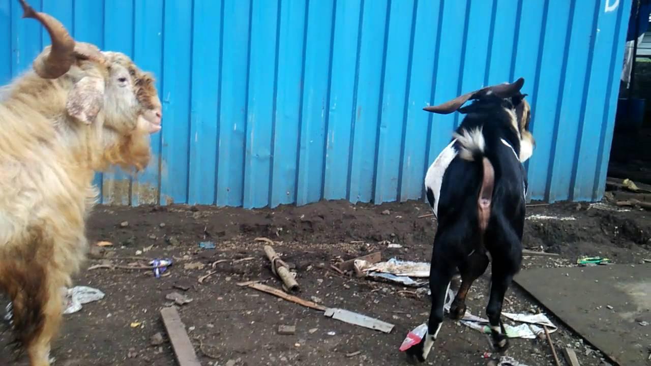 desi goats boxer lala youtube