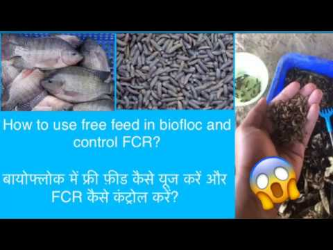 How To Use Free Feed In Biofloc And Control FCR?