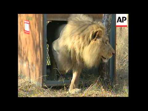 SOUTH AFRICA: RARE WHITE LIONS ARRIVE BACK IN THEIR NATIVE COUNTRY