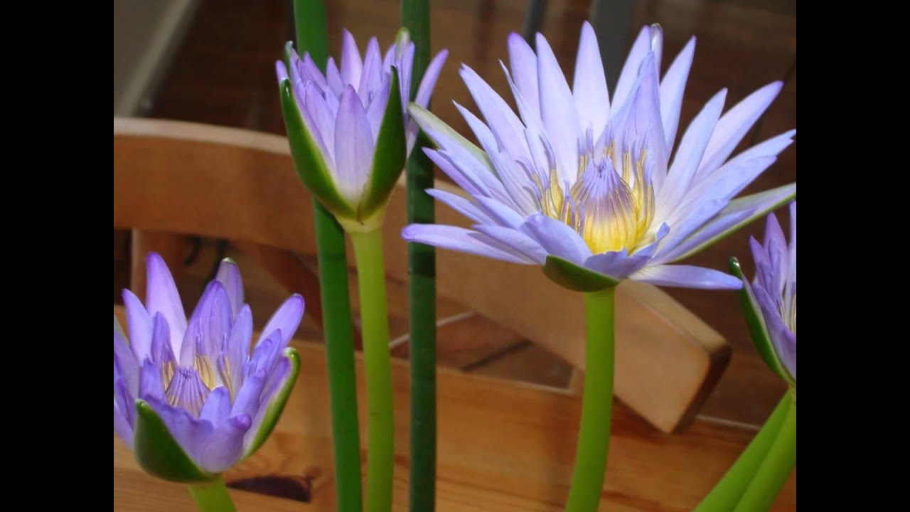 Blue Lotus Flowers Opening At Kalang River Motel Youtube