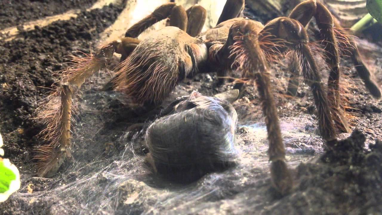 Goliath Bird Eating Spider   Weird Animals   YouTube Goliath Bird Eating Spider   Weird Animals