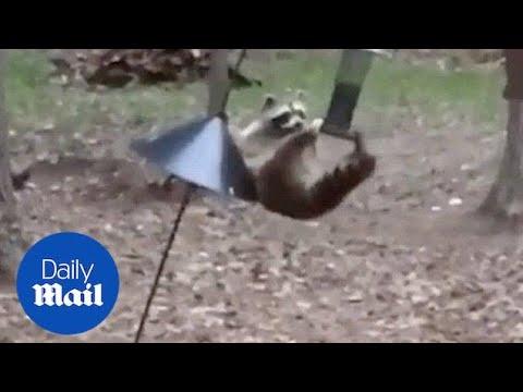 Raccoon Steals Bird Food From Feeder
