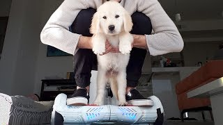 GOLDEN RETRIEVER PUPPY LEARNS HOW TO HOVERBOARD!!!