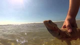 Bearded dragon swimming(Ziggy-Male translucent leatherback black eyes))