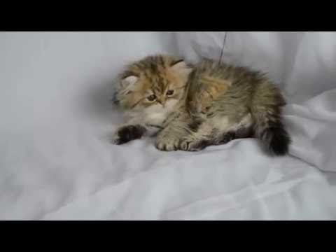 Persian Kittens For Sale, EigenauersPersians Com - YouTube
