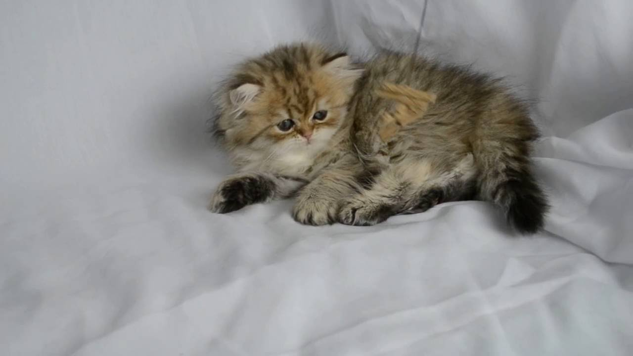 Persian Kittens For Sale, EigenauersPersians.Com - YouTube