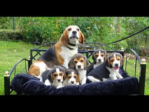 Bezauberne Beagle Welpen Wwwwelpenvermittlung Hundeat
