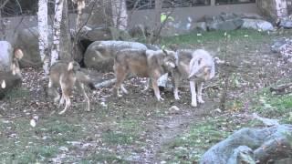 International Wolf Center - Fall Sunset - 23 October 2015
