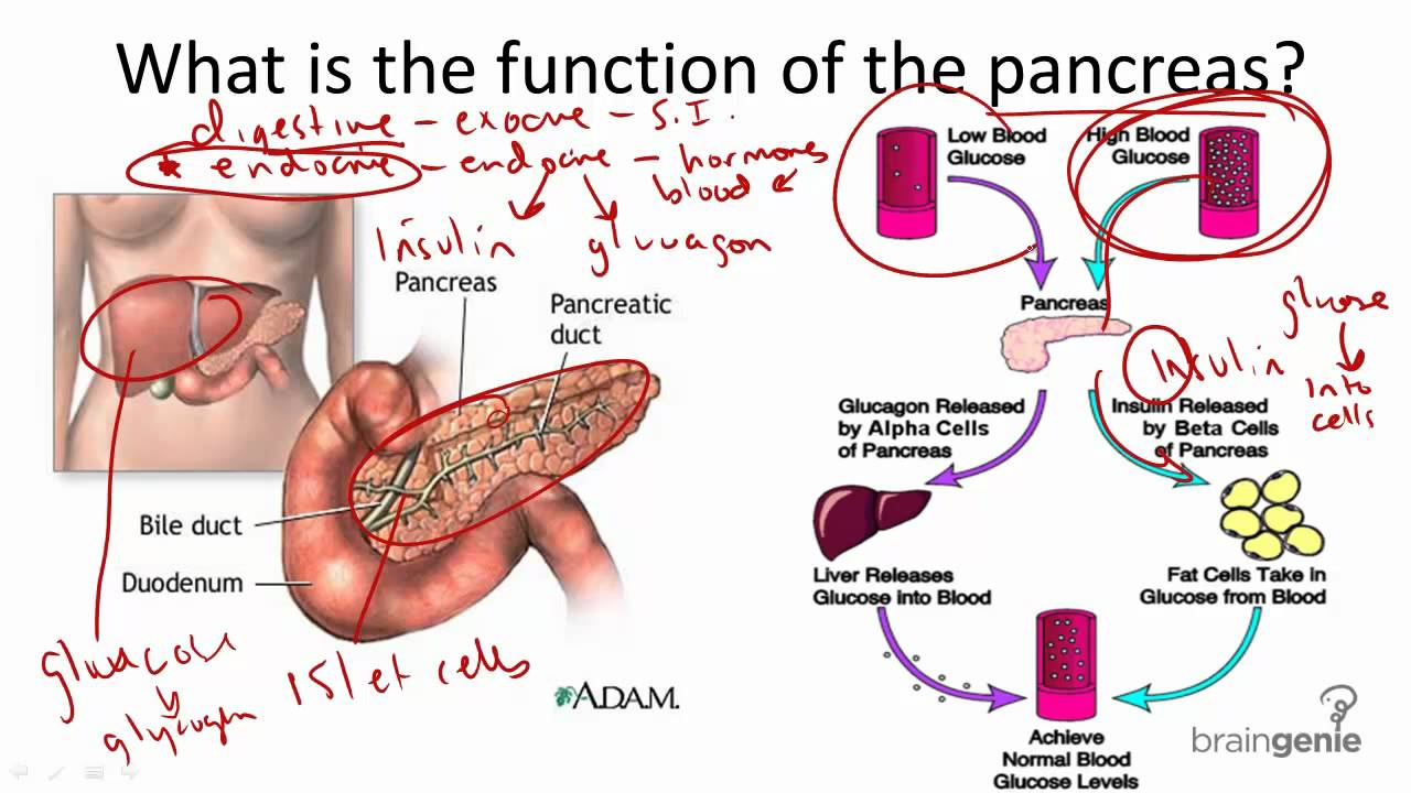 8.2.6 pancreas structure and function - youtube, Human Body