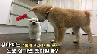 강아지는 동생 생기면 좋아할까?/ 강아지 텃새 / 강아지 둘째 입양 고민 / 시바견미쓰리 / 시바견쯔카유