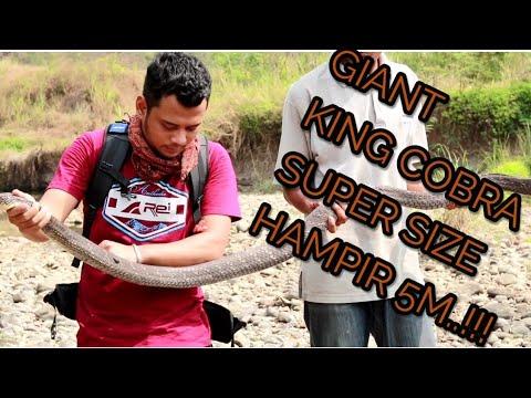 Si Panji, berburu King Cobra di Cikolotok, Pasawahan