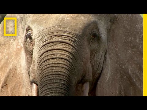 Elephant Poaching Forces This Community to Take Sides
