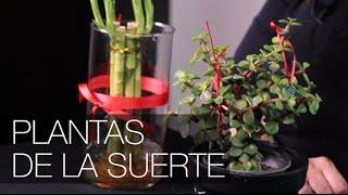 Plantas de la suerte, abundancia y protección