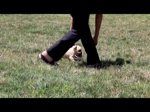 French Bulldog Puppies For Sale Daniel & Hannah Stoltzfus