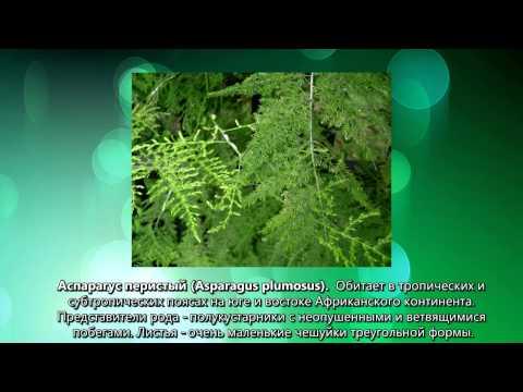 Комнатный цветок аспарагус фото, описание видов и уход в