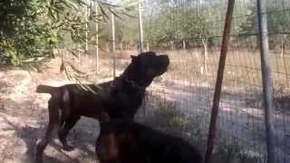 Video Cane corso a lavoro download MP3, 3GP, MP4, WEBM, AVI, FLV Mei 2018