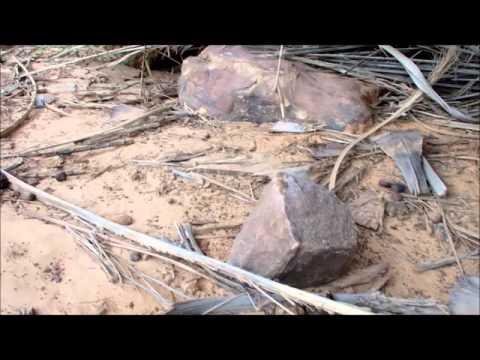 Agama boulengeri in nuptial coloration, Adrar, Mauritania