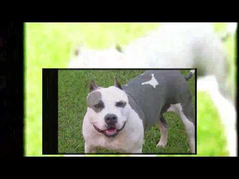 Pelea de perros  Mastín napolitano vs Pitbull   ¿quien gana