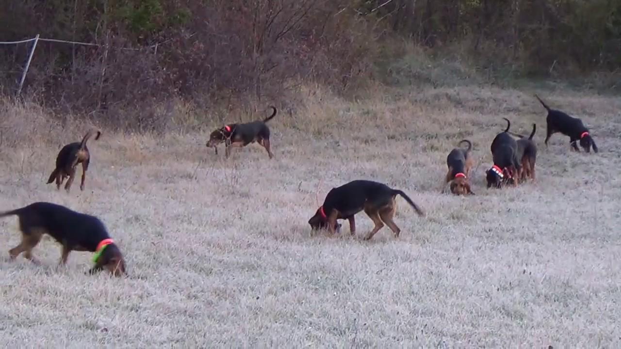 Chasse du Lièvre avec des Brunos du Jura - chasse du 25.02