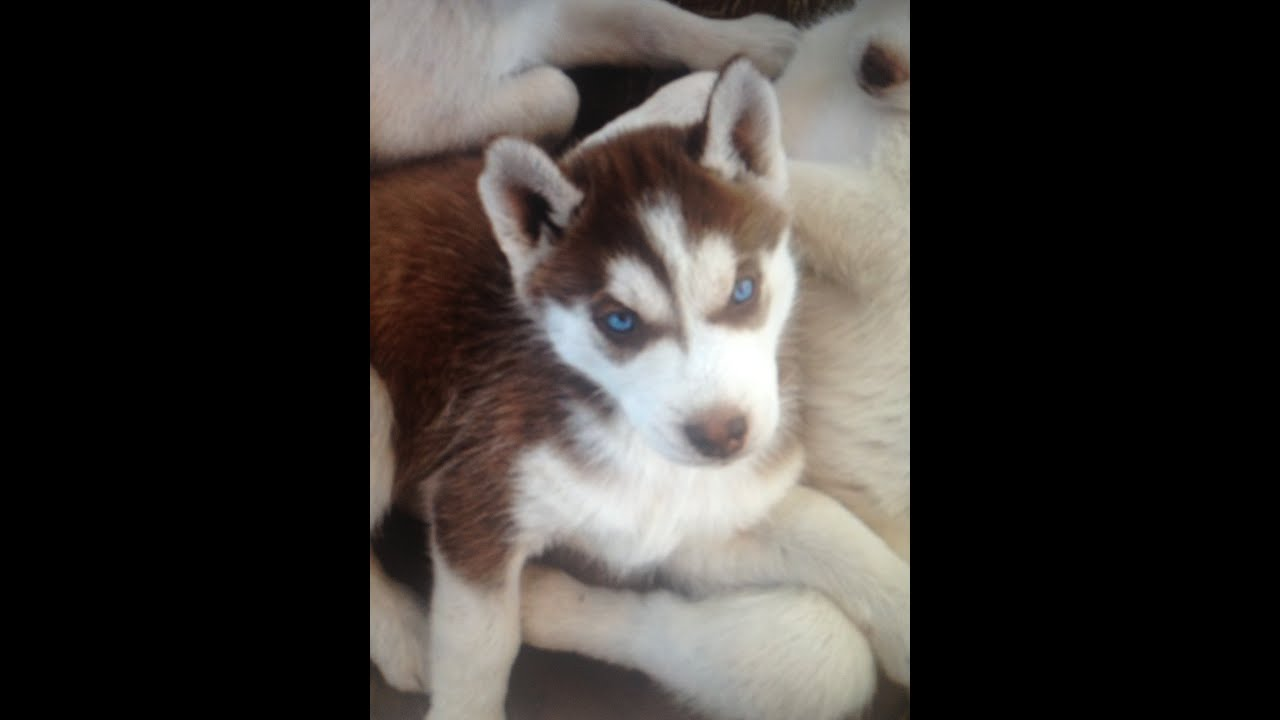 My Red And White Siberian Husky 7 Week Old Puppy Named Chloe Youtube