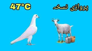 Kabootar Ki Parwaz Kay Liye Azmuda Nuskha 47 Temperature