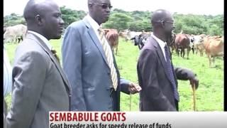 GOATS IN UGANDA  - SSENONO SAMUEL STAMZ