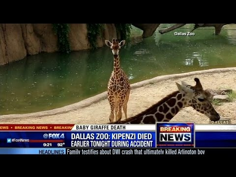 Thumbnail: Giraffe born at Dallas Zoo in April dies after breaking neck