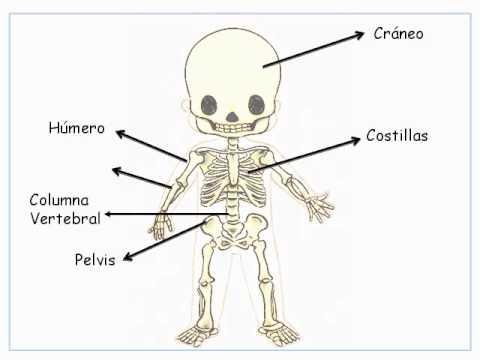 El cuerpo humano huesos y articulaciones - YouTube