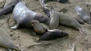 Elephant seal assaults a female and crushes a baby at the same time