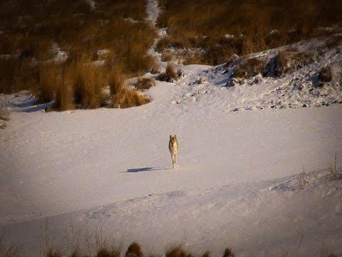 North Dakota Coyote Hunting:  Mid-day Kill