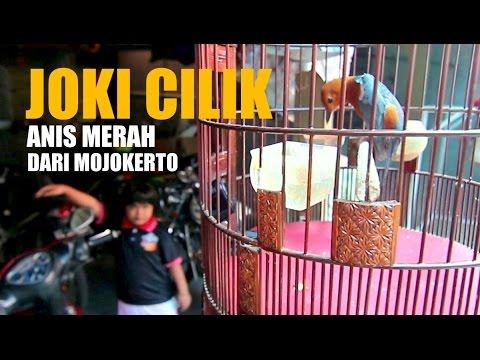 SUARA BURUNG : Joki Cilik Bikin Anis Merah Teler Gacor dari Mojokerto