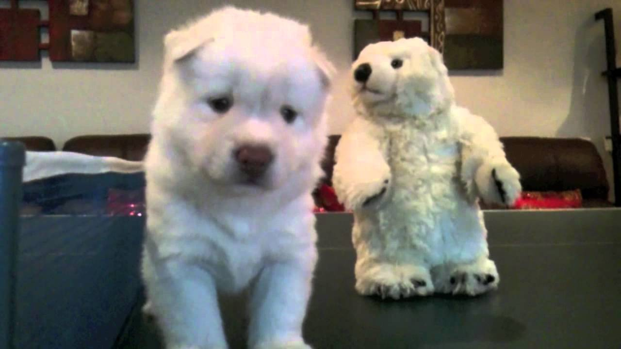 Polar Bear Meets Quot Byakko Quot The White Tiger Husky Youtube
