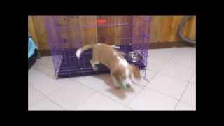 Playful Beagle Puppy Training