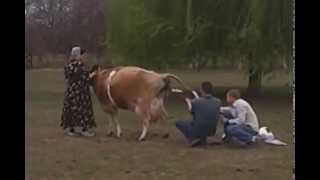 Jersey cow giving birth