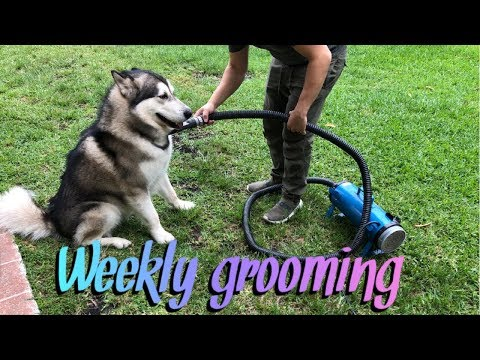 How we groom our Malamutes