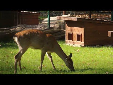 Телеканал Simon: Реконструкція зоопарку: до нового помешкання заселилася олениця