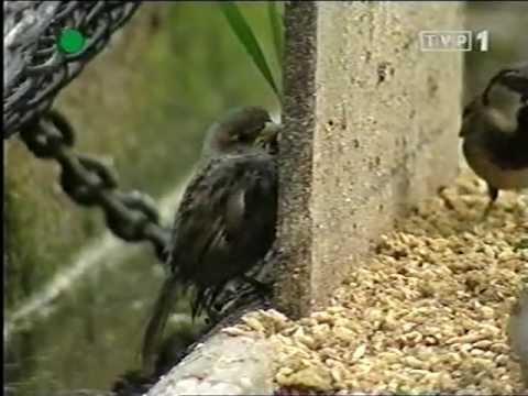 Zwierzęta Świata - Wróbel - Miejski Cwaniak - czytała Krystyna Czubówna - Berlin ZOO