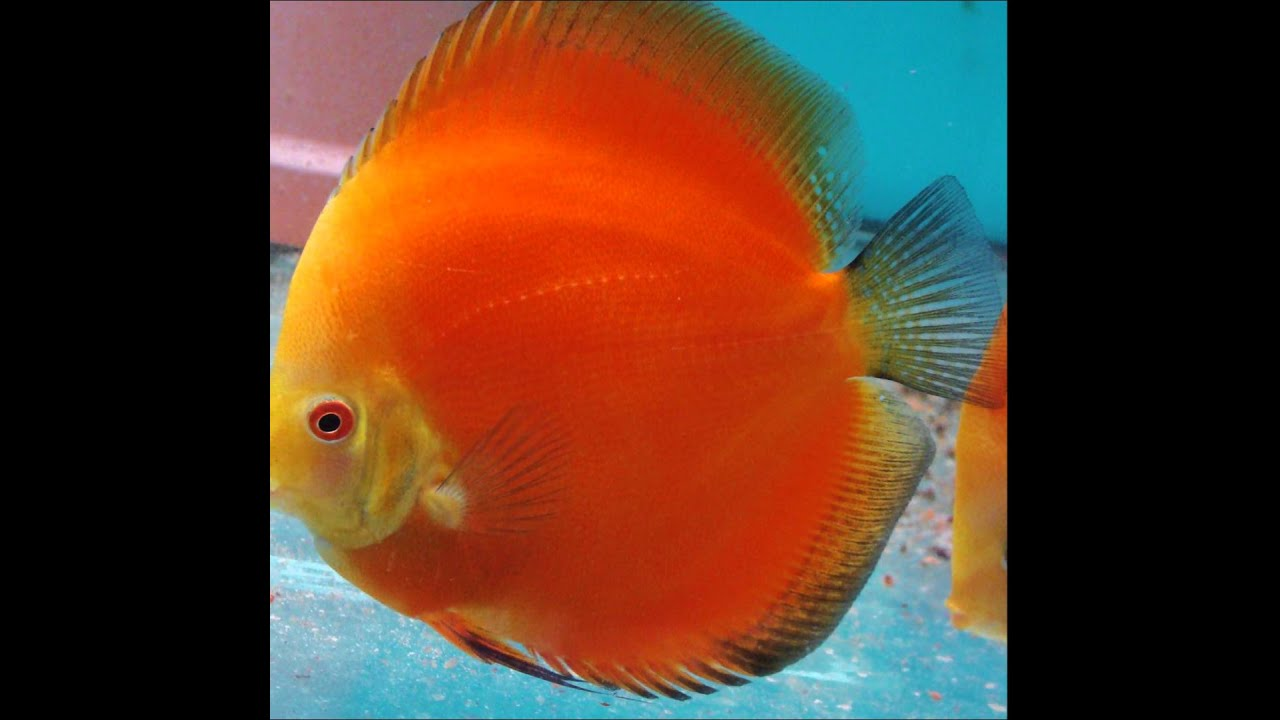 red melon yellow face discus fish available in shop mulund mumbai ...