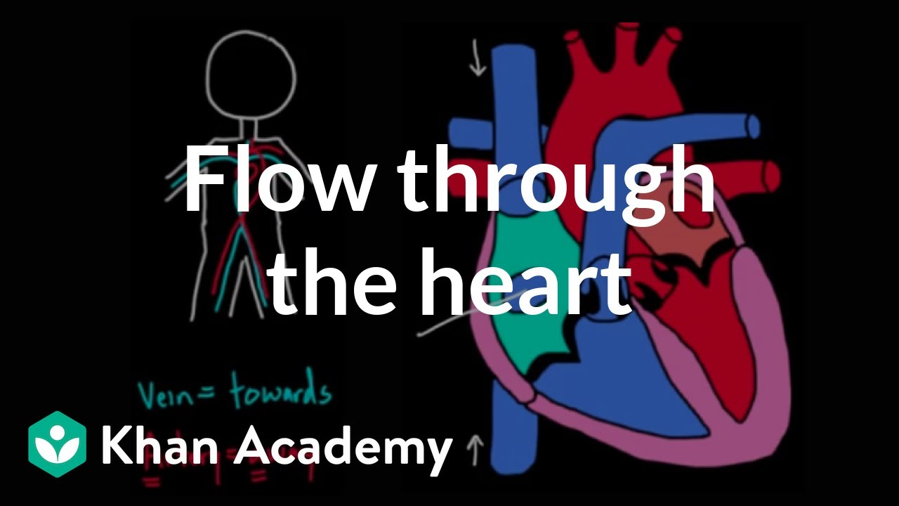 small resolution of Flow through the heart (video)   Khan Academy