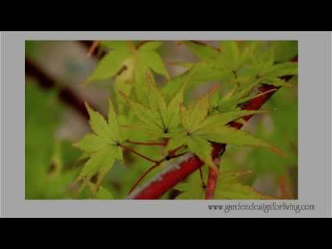 Coral Bark Maple - A tree for all seasons