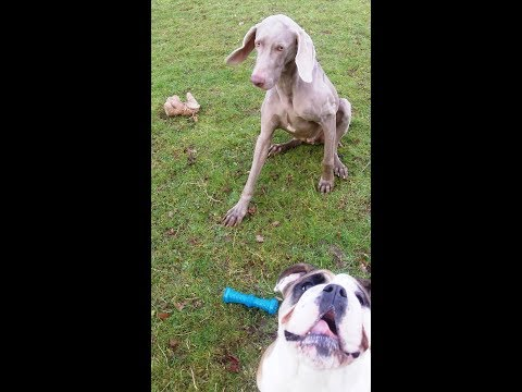 Bichon Peppa whizzing with English Bulldog Molly & Weimaraner Sebastian.